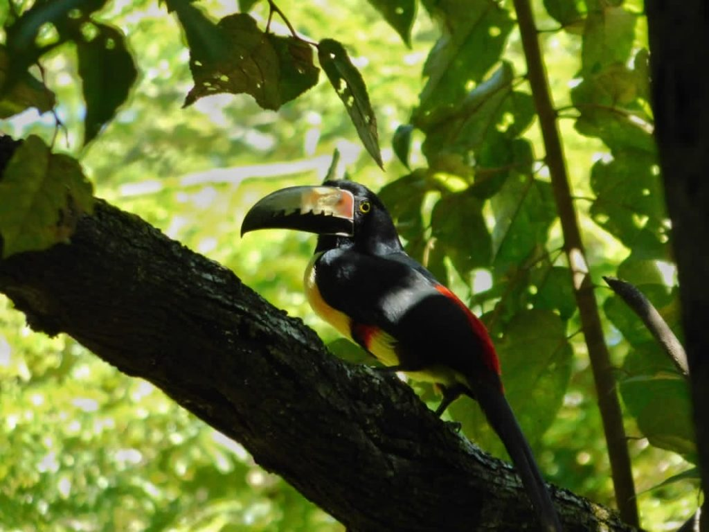collared aracari toucan at Vista Bella gated community Costa Rica